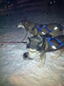 Huskies dogs for Dogsledding