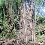 Bamboo trees at Mayfield Falls